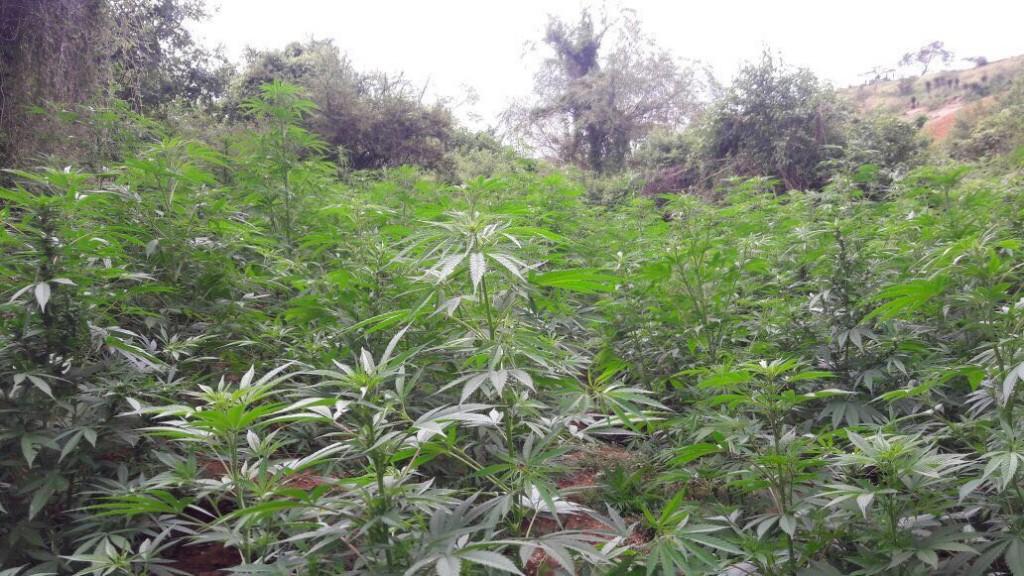 Sócrates A. Campos Lemus: Legalización de la marihuana